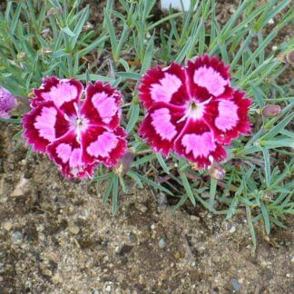 Dianthus 'cranberry Ice'