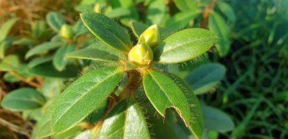 Rhododendron 'Ken Burns'