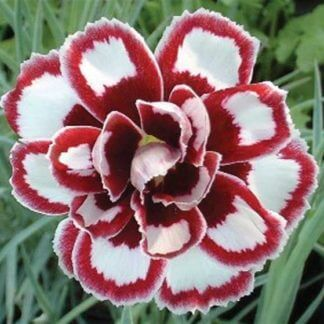 Dianthus Dad's Favourite'