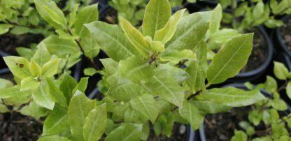 Pittosporum tenuifolium midget