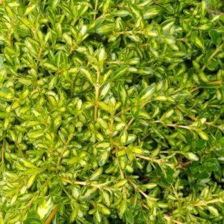 Coprosma 'Kiwi Gold'