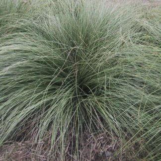 Carex flagellifera Green