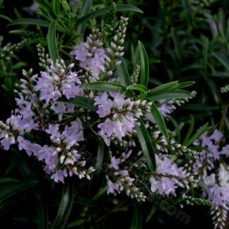 Hebe 'Lavender Lace'