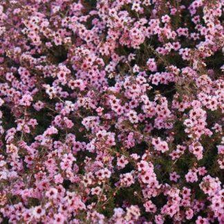 Leptospermum 'Coral Candy'