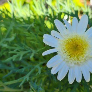 Argyranthemum 'Annabel'