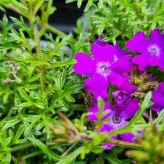 Verbena 'Tenuisecta'